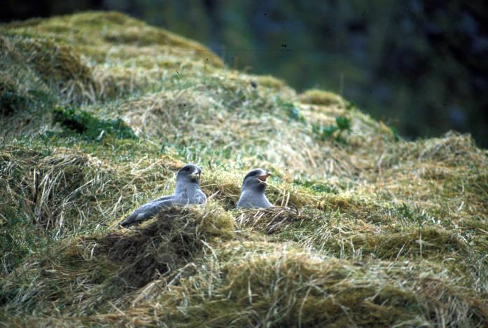 northern fulmars nesting
