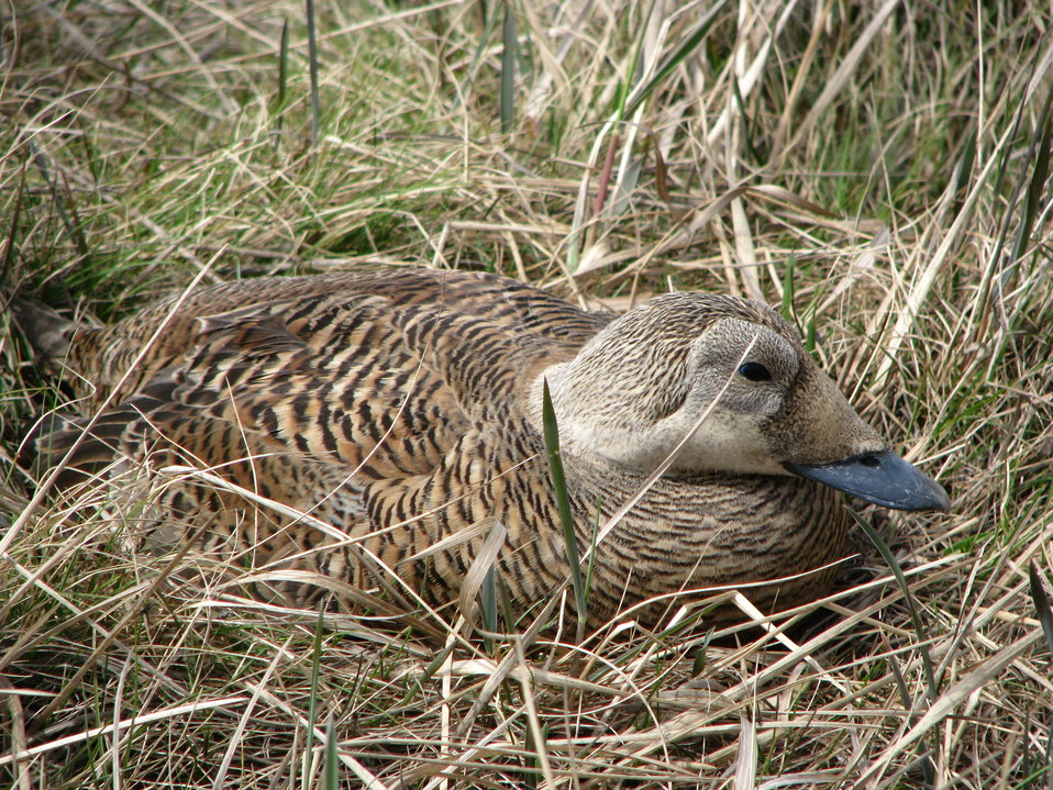 Spectacled Eider incubating