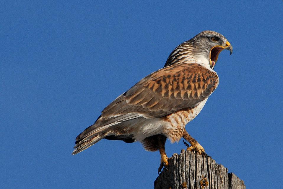 Ferriginous hawk FWS