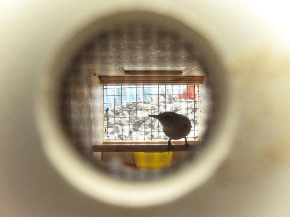millerbird in holding cage