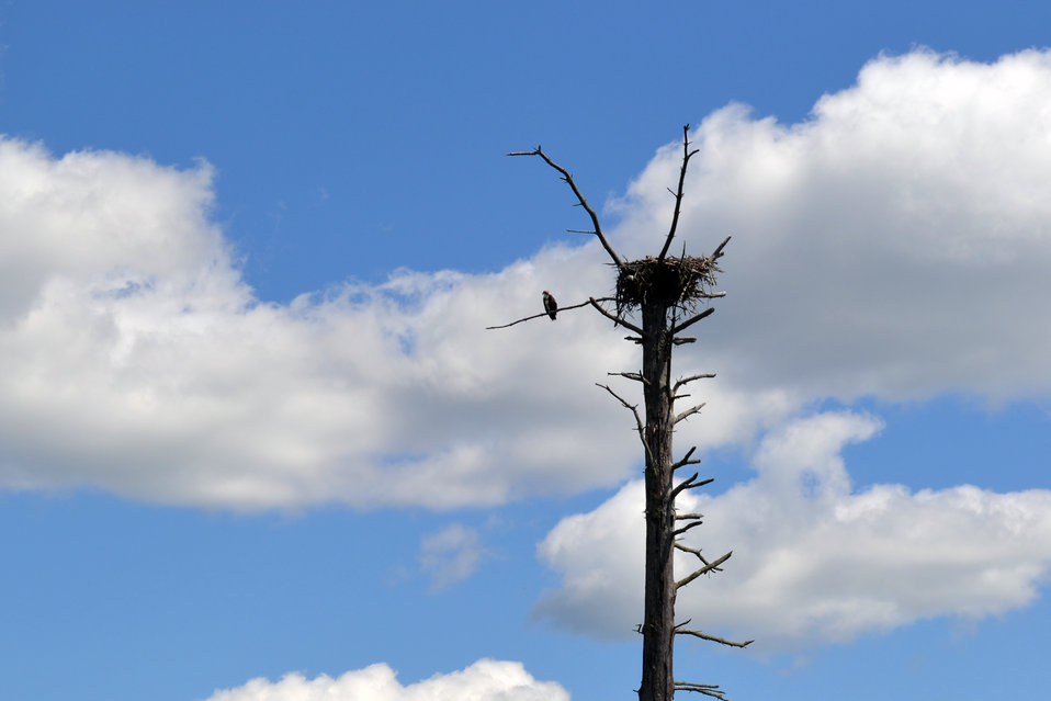Osprey at Tamarac National Wildlife Refuge