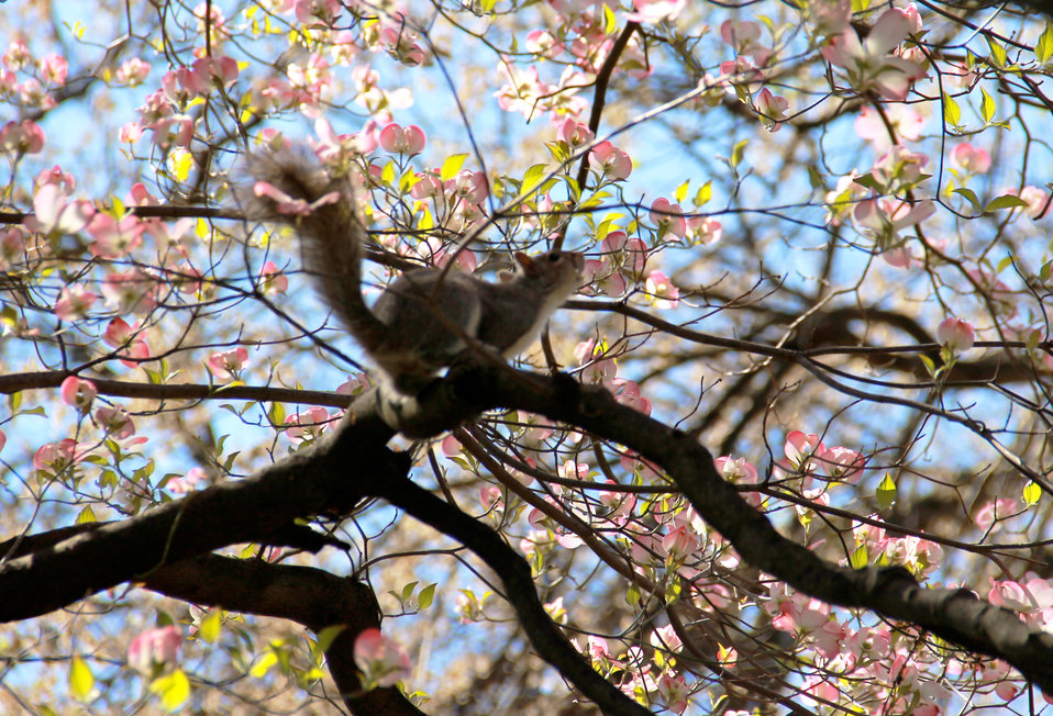 Squirrel in Pink Dogwood in Capitol Square
