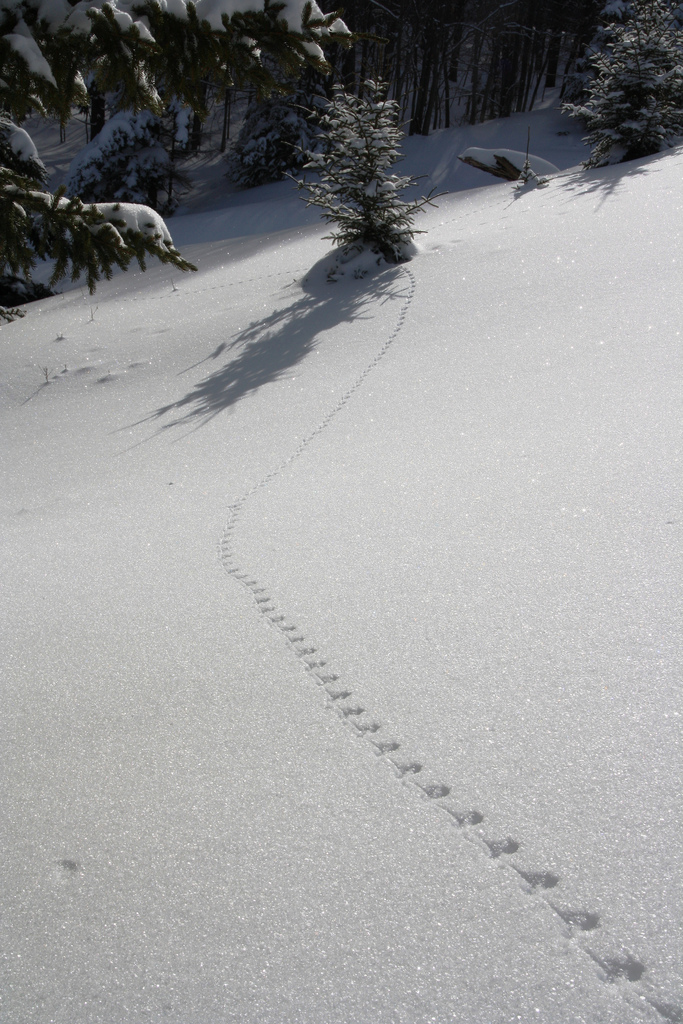 Deer Mouse Tracks in Snow