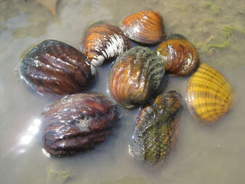 Marais des Cygnes River Mussel Group