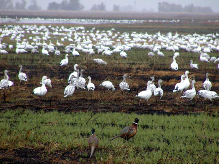 pheasants and geese in burned field