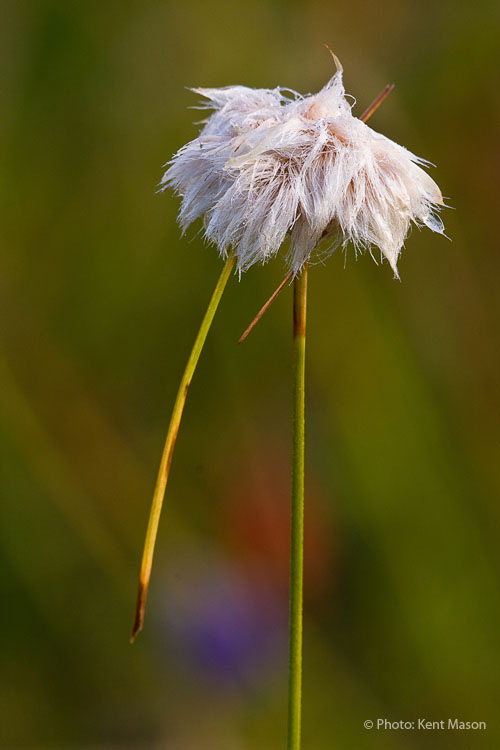 Cottongrass Stalk