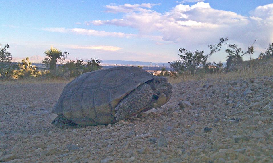 Desert Tortoise3