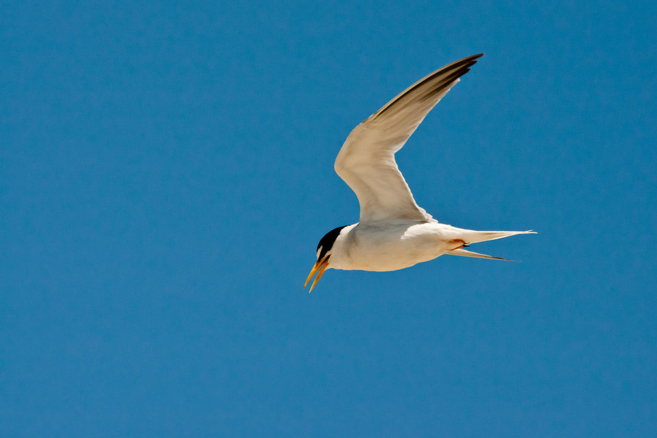 California Least tern adult
