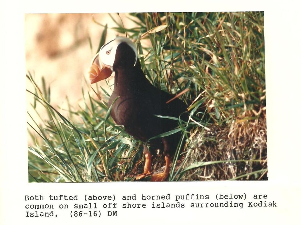 (1986) Tufted Puffin