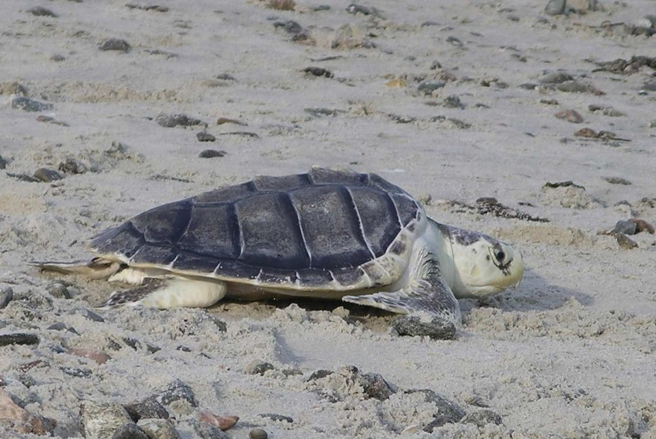 Kemp Ridley's sea turtle