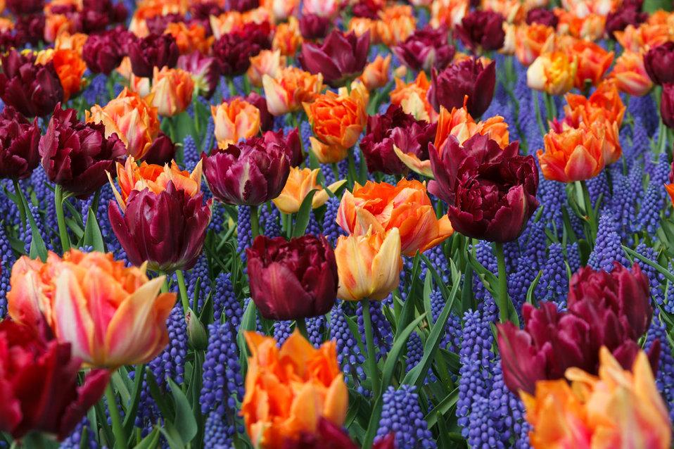 Orange and purple tulips