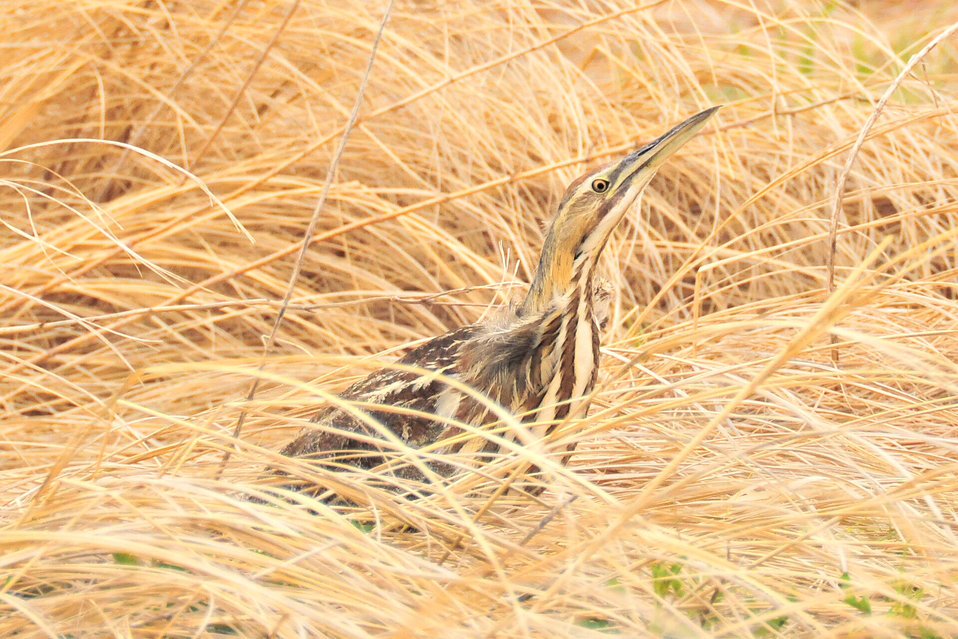 American Bittern on Lacreek NWR 3
