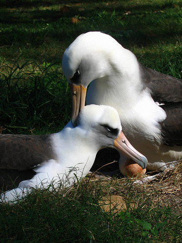 Photo of the Week: Nesting Laysan Albatrosse, Midway Atoll NWR