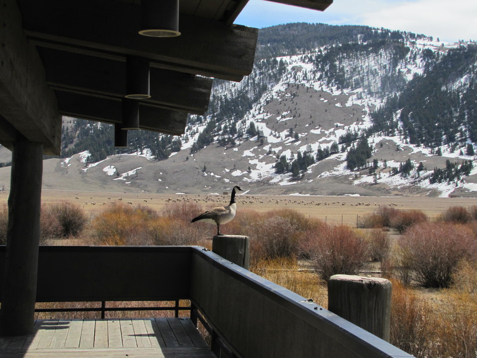 Goose on the Visitor Center's Upper Deck