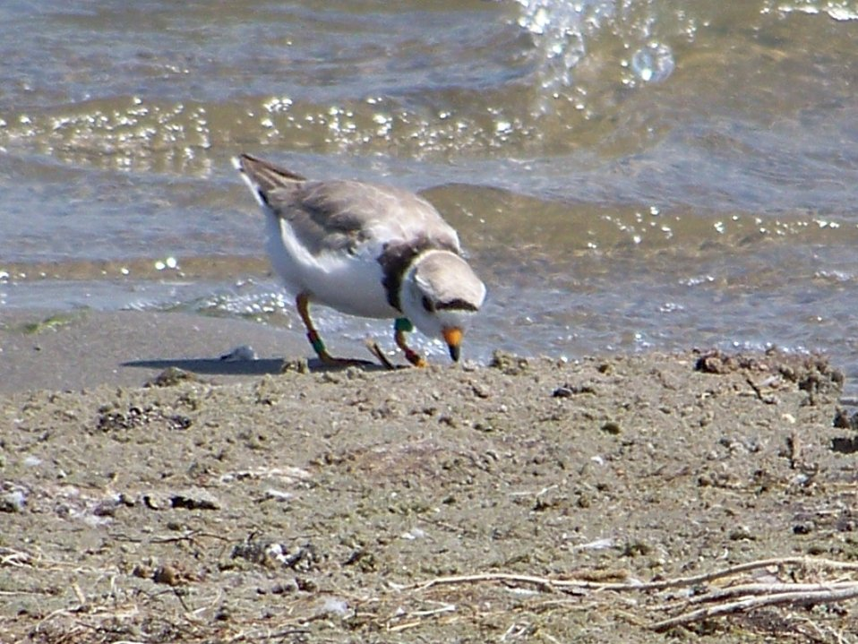 Piping plover on shore