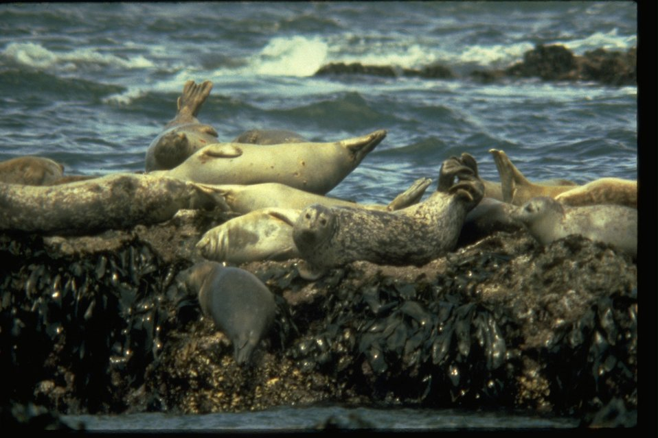 Harbor seals laying on a rock along the coast.