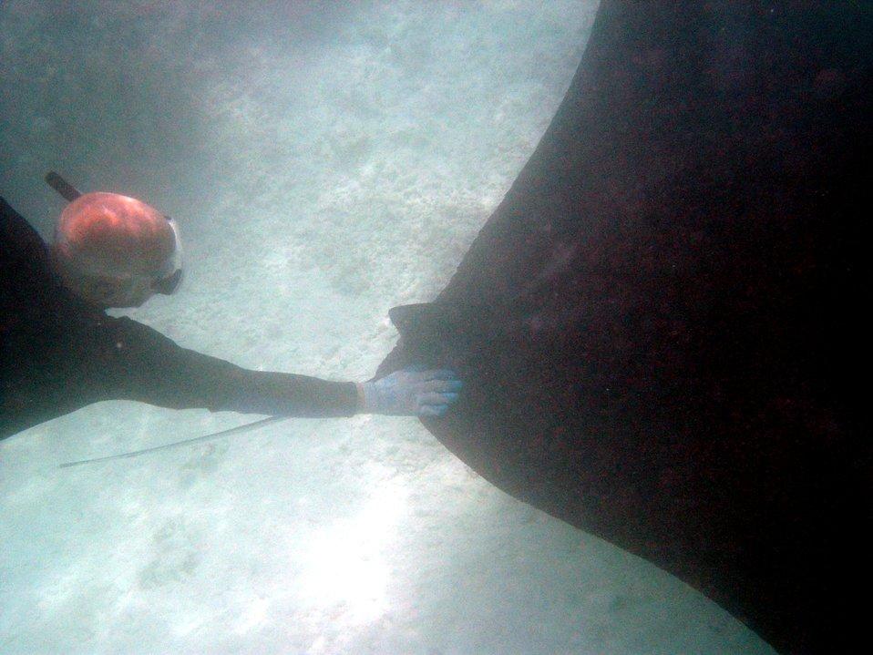 A large manta ray (Manta birostris).