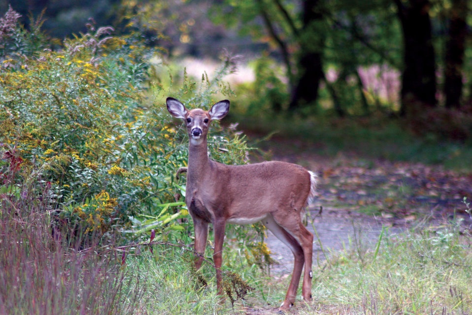 Photo of the Week - White-tailed yearling (NH)