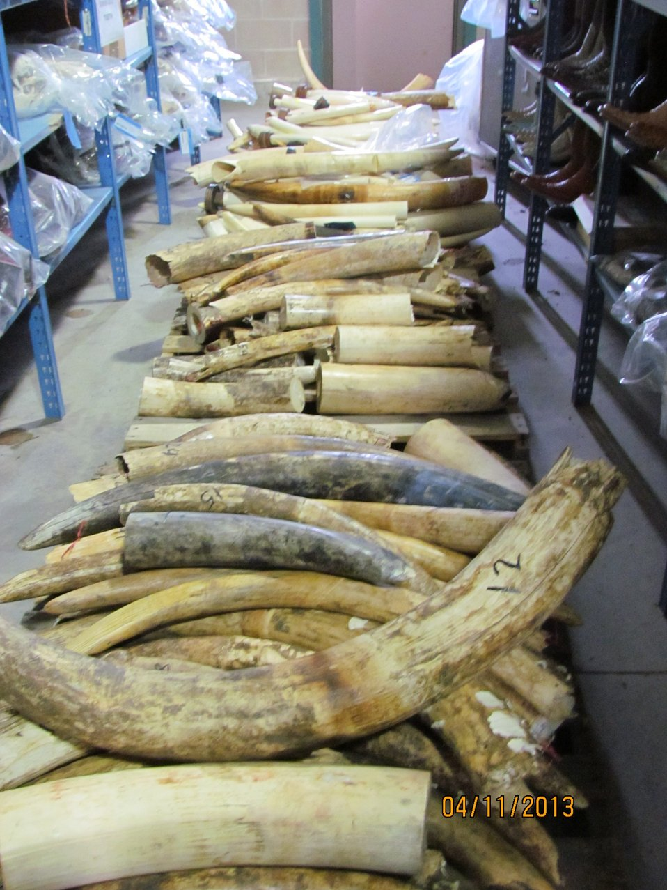 Pallet of raw tusks