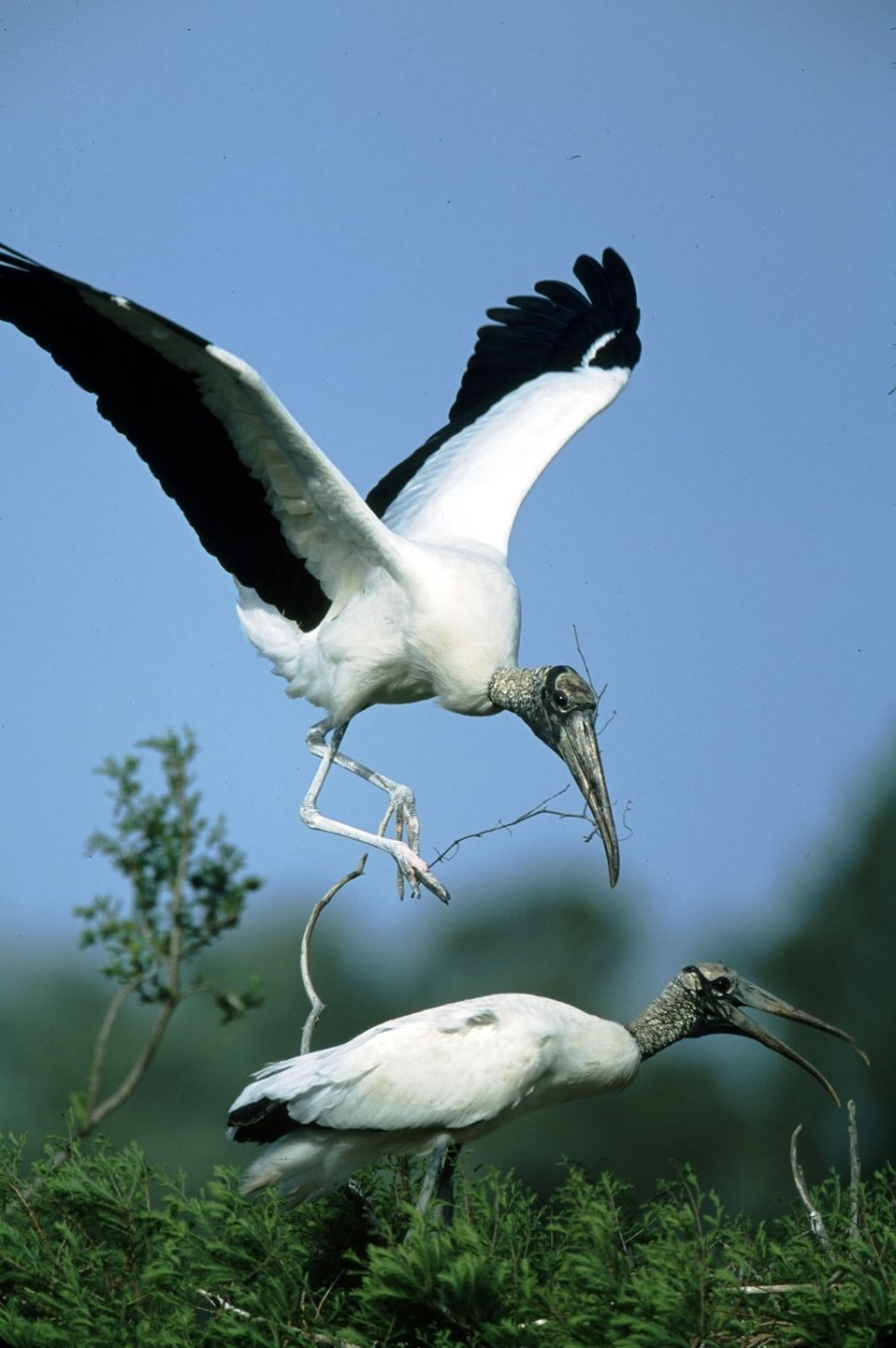 Pinckney Island NWR Wood Stork