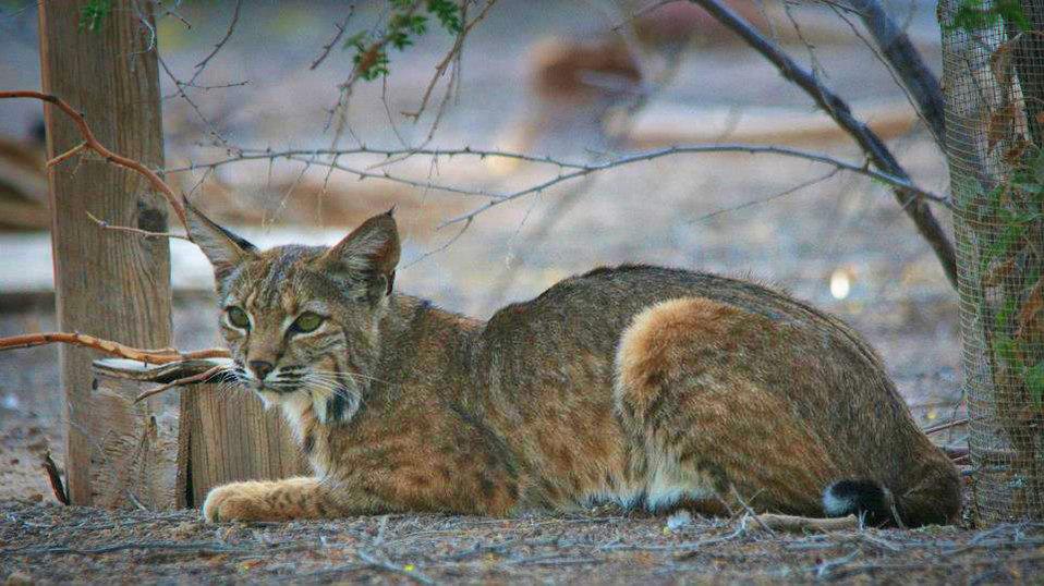 Bobcat at Sonny Bono NWR-1