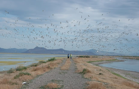 Gull colony at Bear River Migratory Bird Refuge