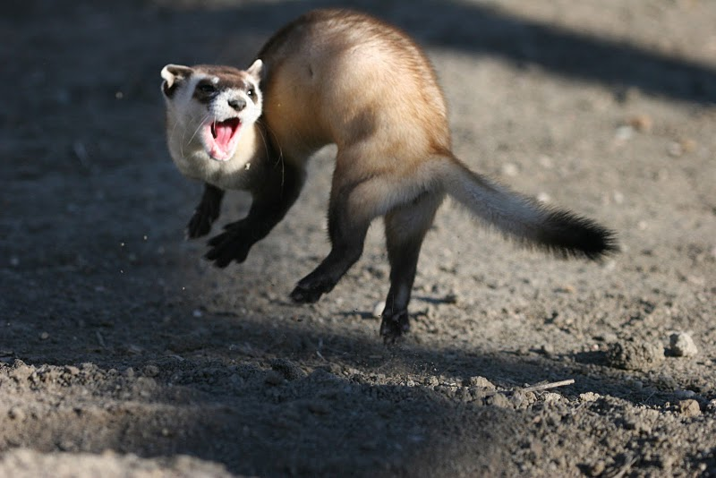 Jumping Black-footed Ferret
