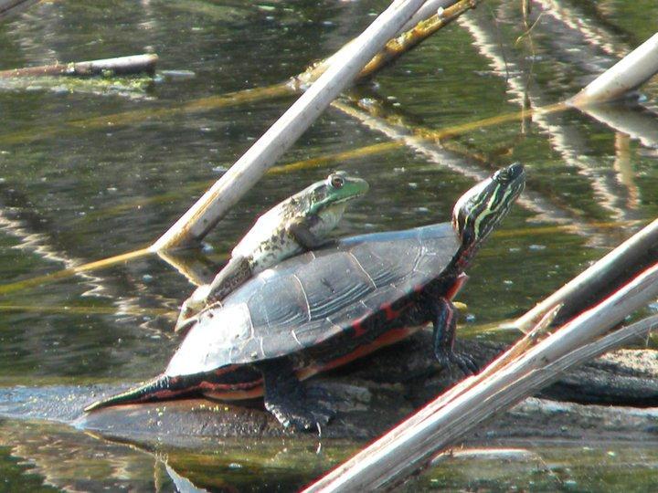 turtle & frog