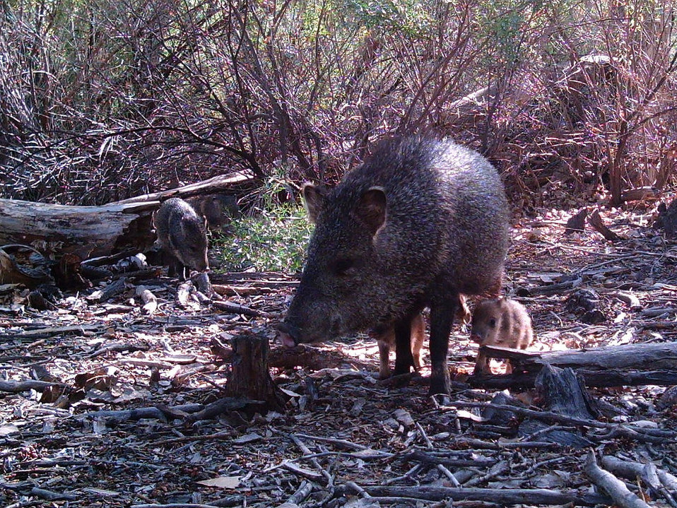 javelina with piglets
