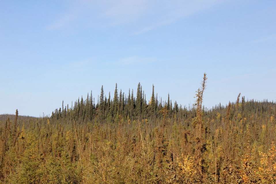 Small scraggly black spruce in foreground with shallow active soil layer while larger trees are located on deeper active layer with more nutrients.