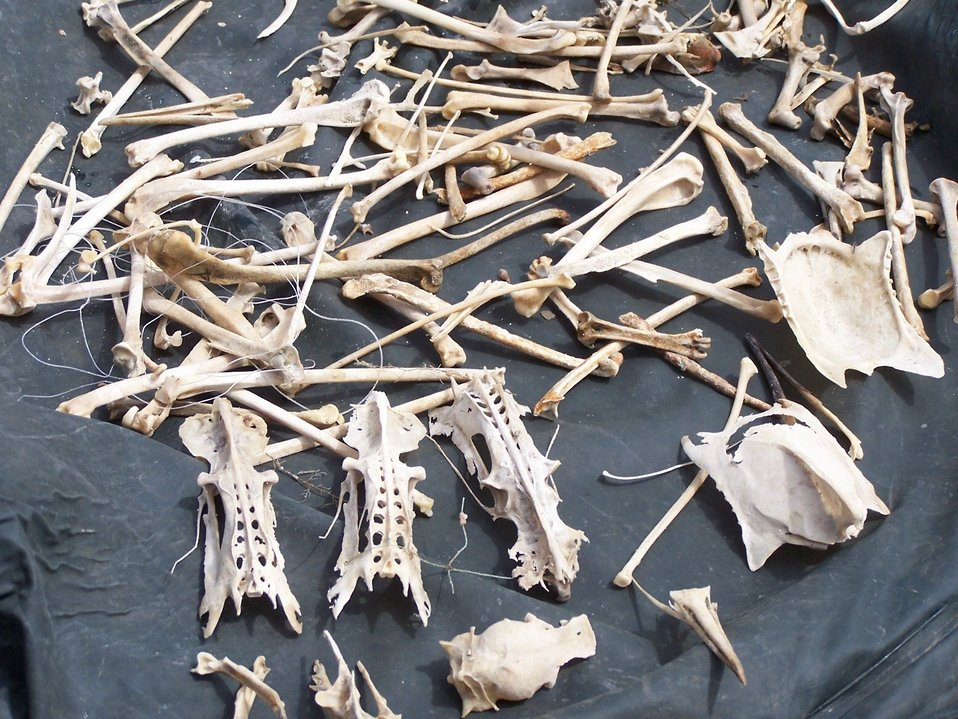 Bird bones found from the USFWS Puget Sound Coastal Program's Derelict Fishing Gear Project, Credit USFWS Joan Drinkwin
