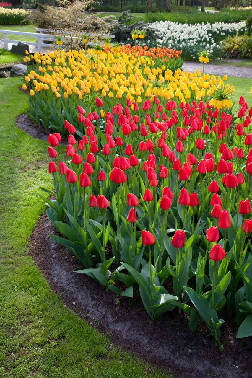 Red and yellow tulip beds