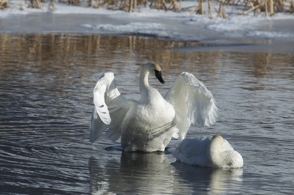 Swans on Flat Creek