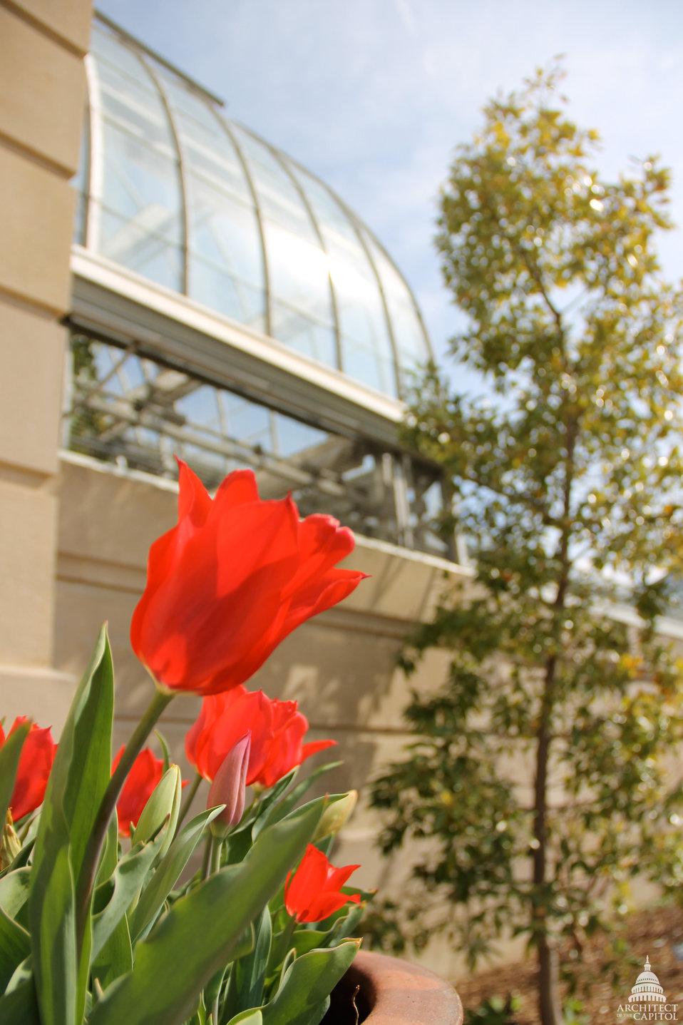 Tulips at the U.S. Botanic Garden