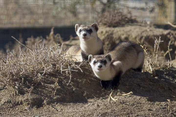 Pair of Black-footed Ferrets