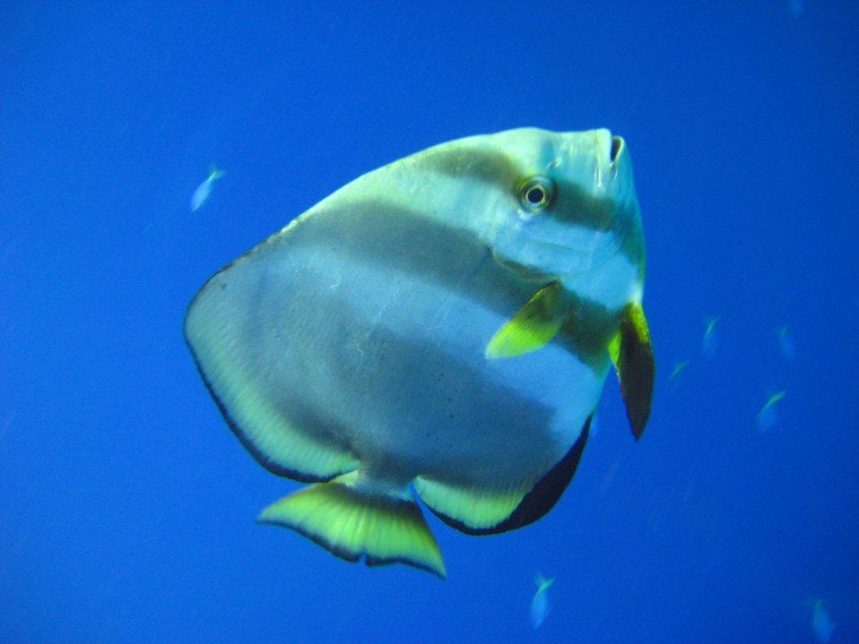 Longfin batfish (Platax pinnatus)