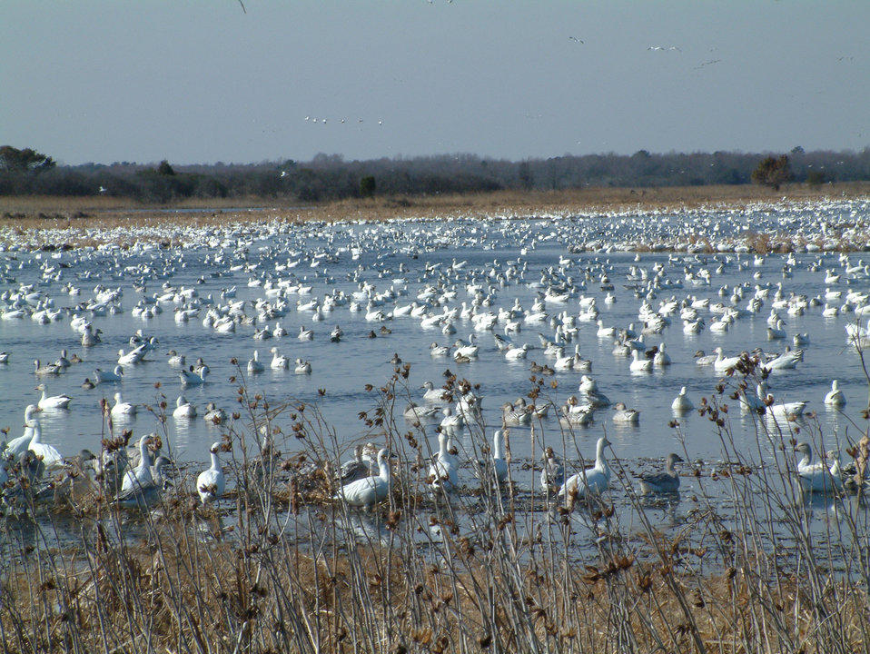Prime Hook waterfowl in Refuge Marshes