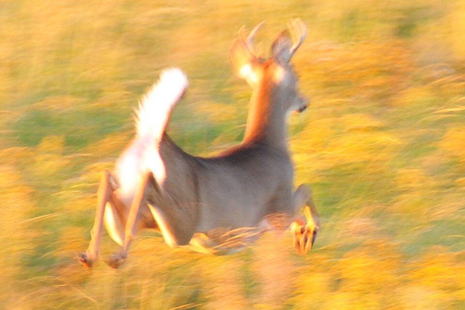 White-tailed Deer Running