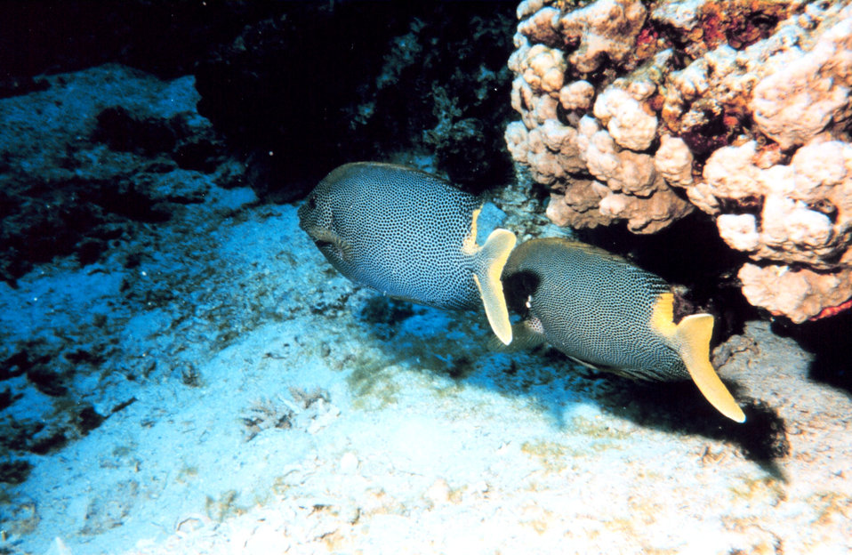 Yellowtailed surgeonfish?