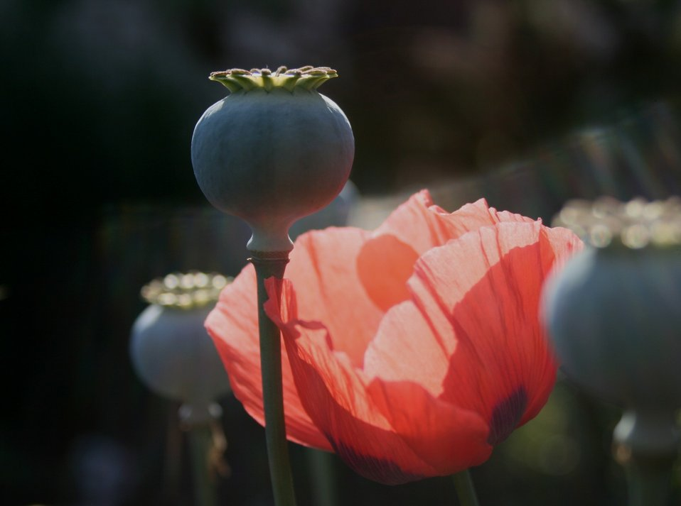 Poppy pod and red poppy
