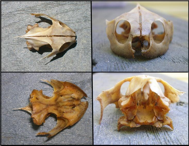 Diamondback terrapin skulls
