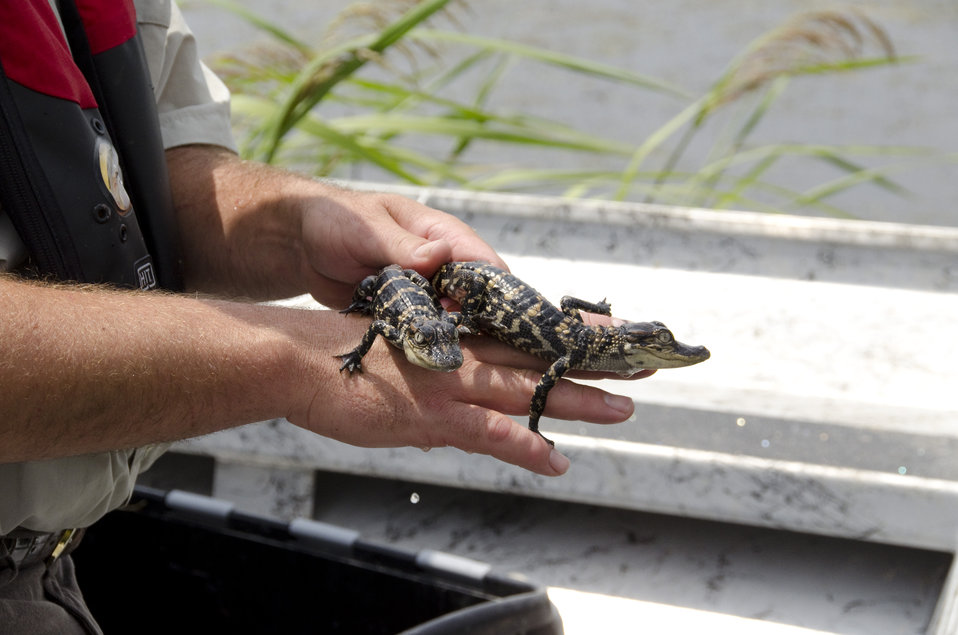 American alligator babies