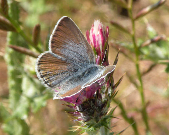 Mission Blue Butterfly (endangered)