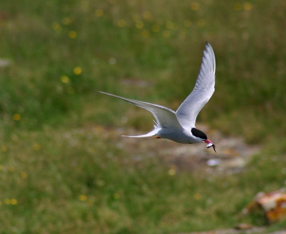 Common tern flying with fish in mouth