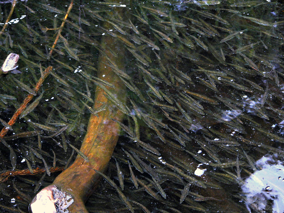 school of sticklebacks