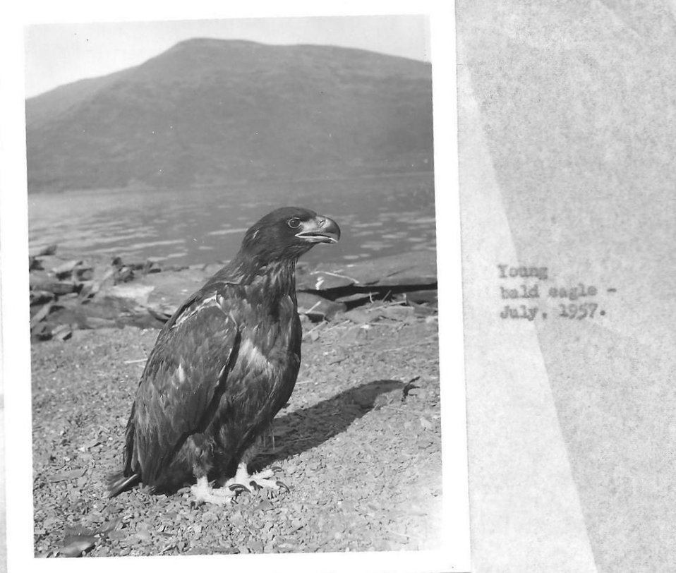 (1957) Young Bald Eagle