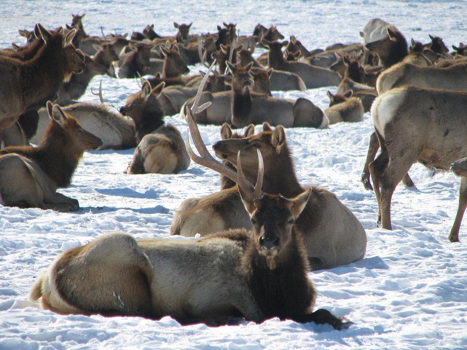 bull elk shedding an antler