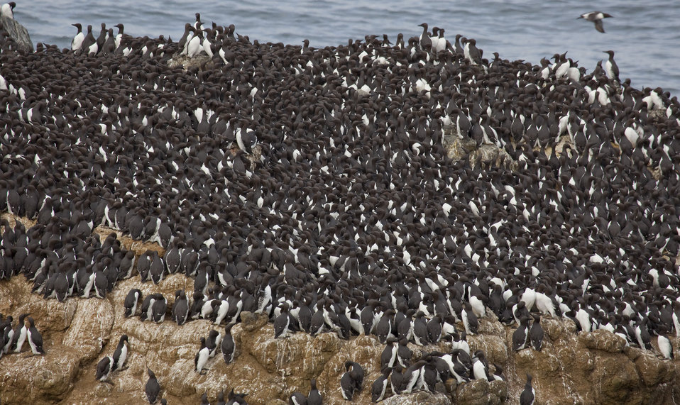 Common Murre Colony