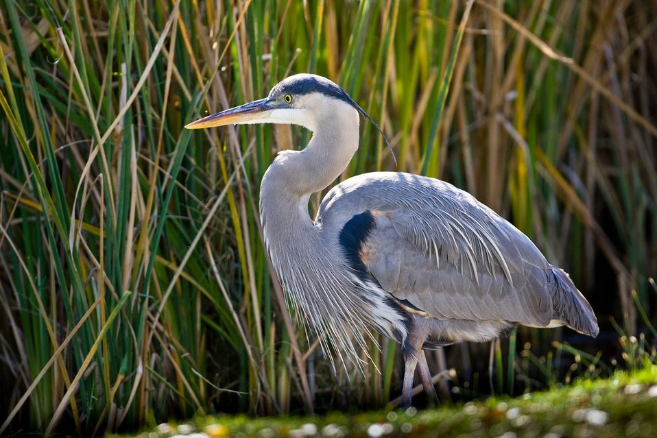 great blue heron in the marsh