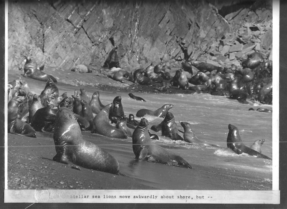 (1970) Graceful Sea Lions